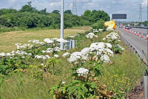 Ann Hacker Called My Attention Recently To A Patch Of Giant Hogweed Near A Fishing Area On Twelve Mile Creek In Wilson She Has Reported This Discovery To